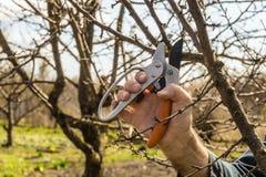 De tuinman snijdt de het snoeien scharen bovenmatige takken van fruitbomen royalty-vrije stock foto's