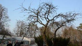 De tuinman zag de tak van de appelboom met speciaal zaaghulpmiddel in tuin stock video