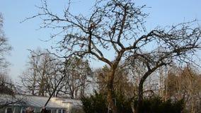 De tuinman zag de tak van de appelboom met speciaal zaaghulpmiddel in tuin stock footage