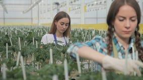 De tuinmanzorgen voor installaties in industriële serre, zoeken tomaat stock footage