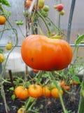 In de tuinserre, de rijpende rode en gele tomaten op de tak van een Bush-installatie tomate in de tuin Royalty-vrije Stock Fotografie