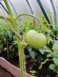 In de tuinserre, rijpende groene tomaten op de tak van een Bush-installatie tomate in de tuin Royalty-vrije Stock Foto's