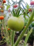 In de tuinserre, rijpende groene tomaten op de tak van een Bush-installatie tomate in de tuin Stock Foto