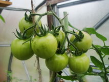 In de tuinserre, rijpende groene tomaten op de tak van een Bush-installatie tomate in de tuin Stock Afbeelding