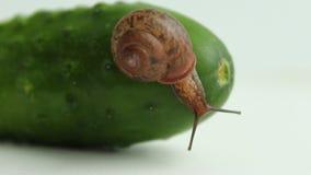De tuinslak kruipt op verse komkommer stock videobeelden
