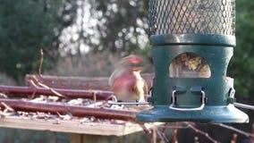 De tuinvogel van de kneuvoeder stock video