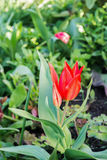 De tulp bloeit in de tuin Stock Afbeeldingen