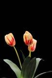 De tulp bloeit exemplaarruimte stock afbeeldingen