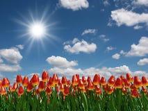 De tulp bloeit gebied royalty-vrije illustratie