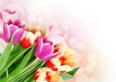 De tulp bloeit prentbriefkaarconcept Stock Afbeelding