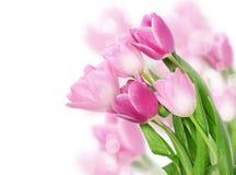 De tulp bloeit prentbriefkaarconcept Royalty-vrije Stock Foto