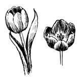 De tulp en de bladeren overhandigen getrokken Stock Foto