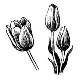 De tulp en de bladeren overhandigen getrokken Stock Fotografie