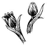 De tulp en de bladeren overhandigen getrokken Royalty-vrije Stock Fotografie