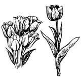De tulp en de bladeren overhandigen getrokken Royalty-vrije Stock Afbeeldingen