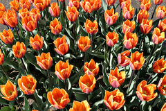 De Tulp Garden2 van Skagway Royalty-vrije Stock Afbeelding