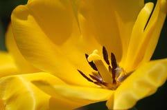 De tulp, sluit omhoog Royalty-vrije Stock Foto's