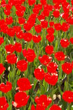 De tulp toont Royalty-vrije Stock Foto