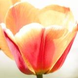 De tulp van Darwin Stock Afbeelding