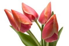 De tulp van de bloem van rode kleur stock afbeelding