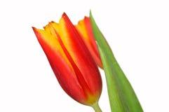 De Tulp van de lente Royalty-vrije Stock Fotografie