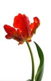 De tulp van de papegaai Royalty-vrije Stock Foto's