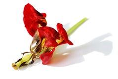 De tulp van de vlinder Royalty-vrije Stock Fotografie