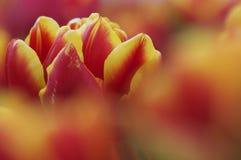 De tulp van het close-up Stock Afbeeldingen
