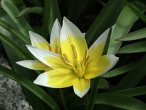 De Tulp van het verkleinwoord (tarda Tulipa) Royalty-vrije Stock Afbeeldingen
