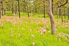 De tulp van Siam Stock Afbeeldingen