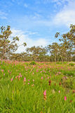 De tulp van Siam Royalty-vrije Stock Afbeelding