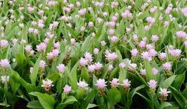 De tulp van Siam Stock Foto's