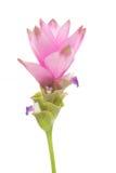 De Tulp van Siam royalty-vrije stock fotografie