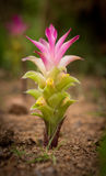 De tulp van Siam of Kurkumabloem in Thailand Stock Foto's