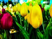 De tulp van Thailand royalty-vrije stock fotografie