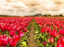De Tulp van Tulipographylisse Noordwijk Nederland Stock Afbeeldingen