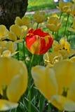 De tulpen stock afbeeldingen