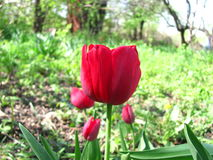 De tulpen bloeien mening van rode tulpen in de tuin binnen landschap bij de lente Royalty-vrije Stock Afbeelding