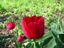 De tulpen bloeien zeer mooie mening van rode tulpen in de tuin binnen landschap bij de lente of de zomer Hoogste mening Stock Foto's