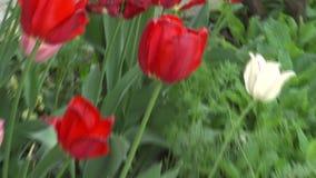 De tulpen in de Overzeese Tuin van Bourgas in Bulgarije stock footage