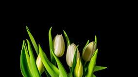 De tulpen groeien en bloeien, 4K tijd-tijdspanne stock video