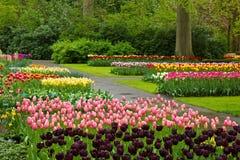 De tulpen Keukenhof van de lente royalty-vrije stock afbeelding