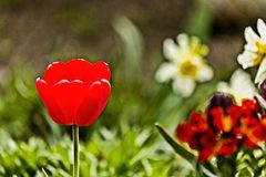 De tulpen kwamen in de lente op de binnenplaats tot bloei stock foto