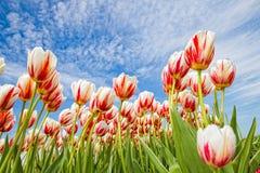 De tulpen richten aan de betrokken hemel Stock Afbeelding