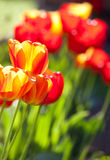 De tulpen in tuin Stock Afbeeldingen