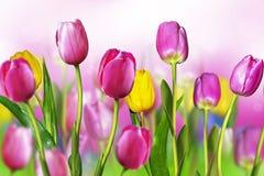 De tulpen van bloemen Stock Foto