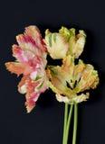De Tulpen van de abrikozenpapegaai op zwarte achtergrond worden geïsoleerd die royalty-vrije stock afbeelding