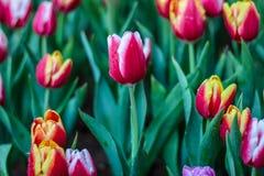 De tulpen van de bloem Stock Foto's