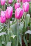 De tulpen van de bloem Stock Afbeeldingen