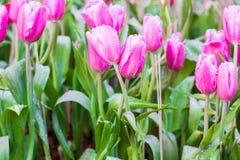 De tulpen van de bloem Royalty-vrije Stock Afbeelding
